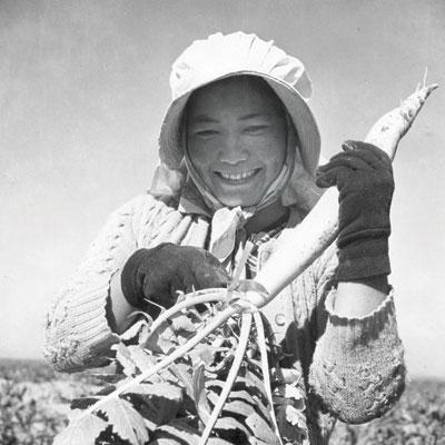 Harvesting daikon